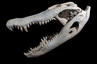American alligator - American alligator skull