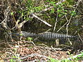 Alligator mississippiensis parent and young.JPG