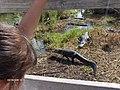 Alligators at Royal Palm^ - panoramio.jpg