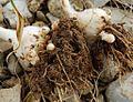 Allium-poly3.jpg