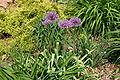 Allium aflatunense 001.JPG