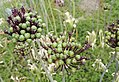 Allium atropurpureum Waldst. and Kit.-5F.jpg