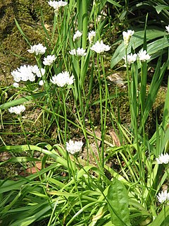 Allium neapolitanum clump.jpg
