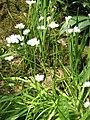 Allium neapolitanum clump.jpg