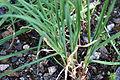 Allium sativum 2 2014-03-26.jpg