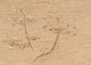 Allium sindjarense - Image: Allium sindjarense 1