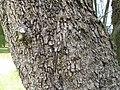 Allocasuarina verticillata1.jpg