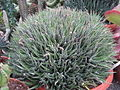 Aloe (6323550707).jpg
