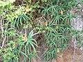 Aloe arborescens, Krantzkloof Natuurreservaat, b.jpg