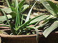 Aloe from Lalbagh 2347.JPG