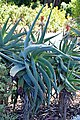 Aloe speciosa 02.jpg