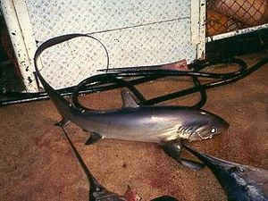 Pelagic thresher - Pelagic threshers are often caught as bycatch on longlines.
