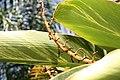 Alpinia zerumbet 37zz.jpg