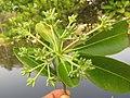 Alstonia scholaris - Scholar Tree at Thattekkadu (5).jpg