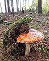 Amanita muscaria (48975563233).jpg