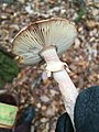 Amanita rubescens 105978013.jpg