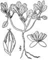 Amaranthus pumilus BB-1913.png