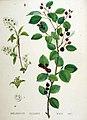 Amelanchier vulgaris — Flora Batava — Volume v19.jpg