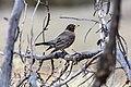 American Robin - Turdus migratorius (70424af9-938b-4bb4-a92b-f699b5bc0a34).jpg