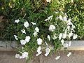 Amin al-Islami Park - Trees and Flowers - Nishapur 054.JPG