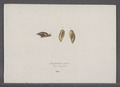 Amphibulina putris - - Print - Iconographia Zoologica - Special Collections University of Amsterdam - UBAINV0274 089 03 0008.tif