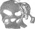 Anatomia Britannica- a system of anatomy Fleuron N001319-56.png