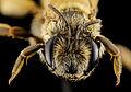 Andrena israel, f, israel, face 2014-10-11-15.48.31 ZS PMax (15528345847).jpg