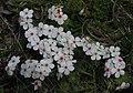 Androsace villosa 2 RF.jpg