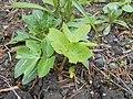 Angelica archangelica Oenothera rubricaulis 2017-04-30 8980.jpg