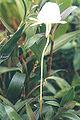 Angraecum scottianum0.jpg