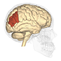 Angular gyrus - lateral view.png