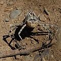 Anisoptera exuvia-1-4.jpg