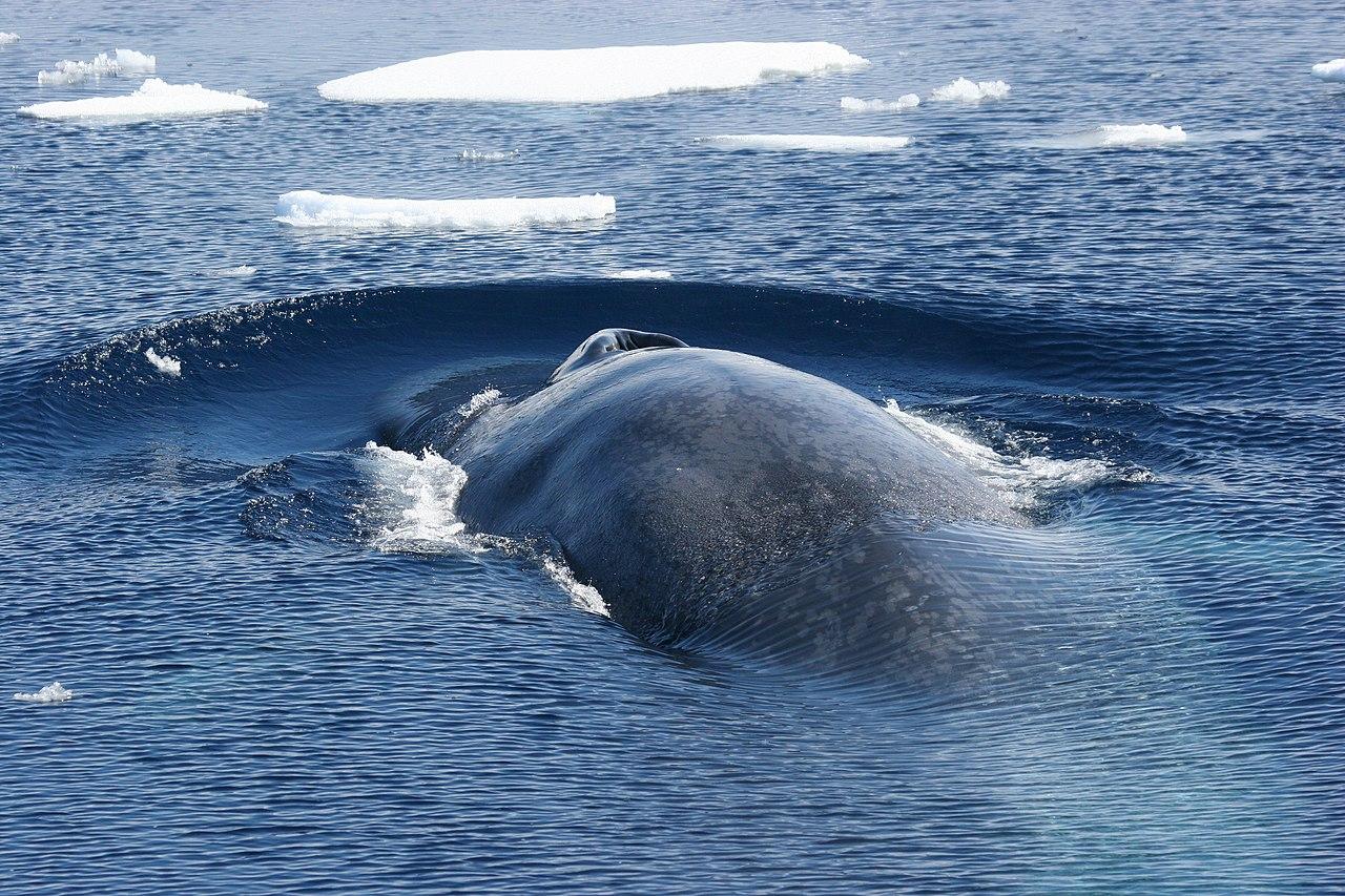 Antarctic Blue Whales File:Antarctic blue wh...