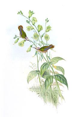 Anthocephala floriceps.jpg