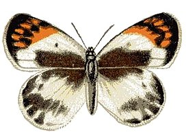 Anthocharis phlegetonia.JPG