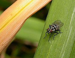 Anthomyie pluviale (Anthomyia pluvialis)