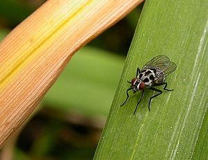 Anthomyiidae - Anthomyia pluvialis