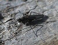 Aphrosylus celtiber-ferox on driftwood - Flickr - S. Rae (1).jpg