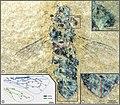 Apis (Synapis) dalica (10.3897-zookeys.775.24909) Figures 4–7.jpg