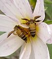 Apis dorsata-small.jpg