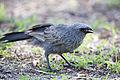 Apostle bird feeding (16198909438).jpg