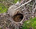 Aptostichus trapdoor 1.jpg