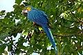 Ara ararauna (Guacamaya azul y amarilla) (14457585510).jpg