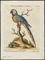 Ara ararauna - 1700-1880 - Print - Iconographia Zoologica - Special Collections University of Amsterdam - UBA01 IZ18500097.tif