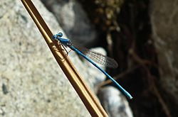 Arabicnemis caerulea (Powder Blue Damselfly).jpg