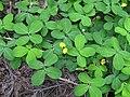 Arachis pintoi leaf7 (8662279728).jpg