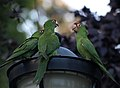 Aratinga -San Francisco -feral parrots on street lamp-8.jpg