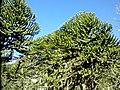 AraucariaCHILE.jpg