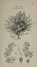 Arboretum et fruticetum britannicum, or - The trees and shrubs of Britain, native and foreign, hardy and half-hardy, pictorially and botanically delineated, and scientifically and popularly described (14597260479).jpg