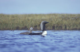 Arctic Loon and brood.jpg